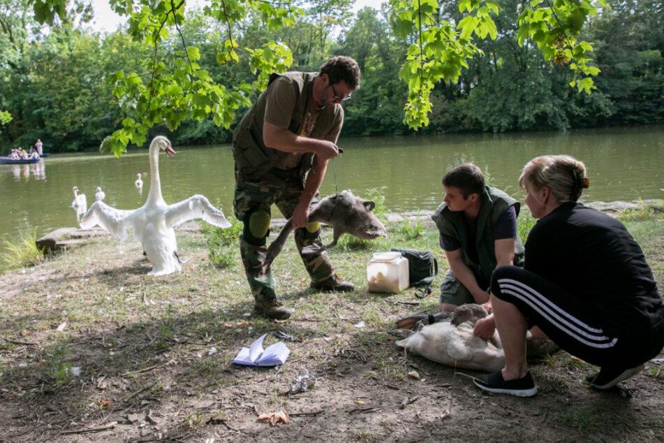 Hat ihn! Einer der Jungschwäne im Griff von Beringer Thomas Eißer (54, l.). Helfer halten schon das nächste Tier.