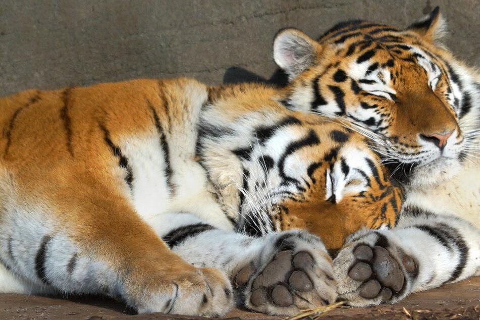 Im Tierpark Hagenbeck geboren: Tigermädchen mussten umziehen