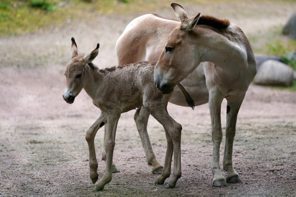 Der Onager-Nachwuchs wurde erst am Dienstag geboren.
