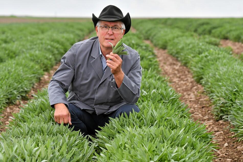 Bombastus-Vorstand Joachim Günther (66) prüft auf dem Feld die Qualität der Salbeiblätter.