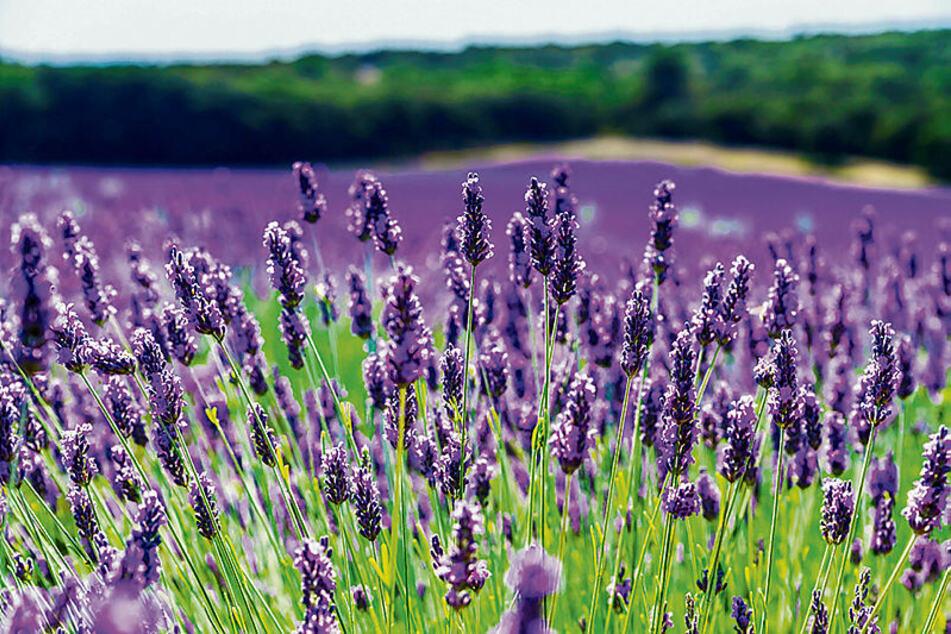 Lavendelduft entspannt und ist Balsam für die Seele.