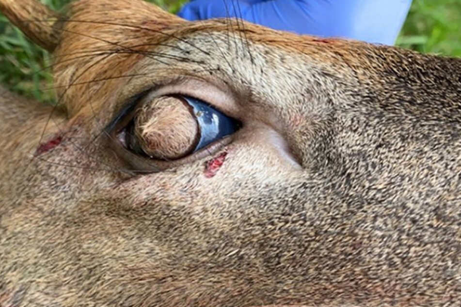 The eyeball of the white-tailed deer is covered with hair.