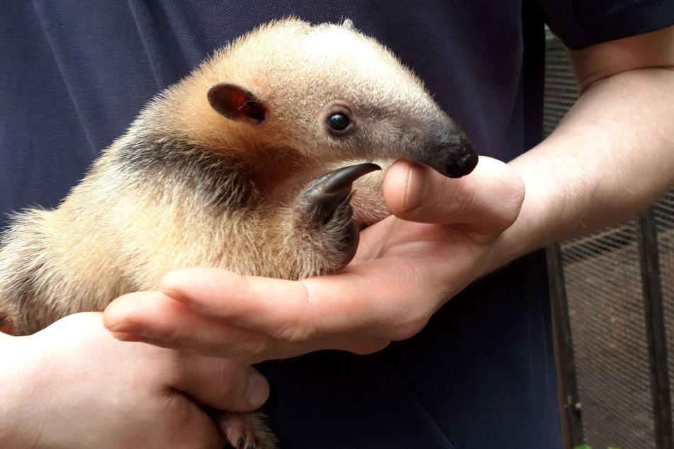 Niedlicher Nachwuchs im Duisburger Zoo: Kleiner Ameisenbär geboren