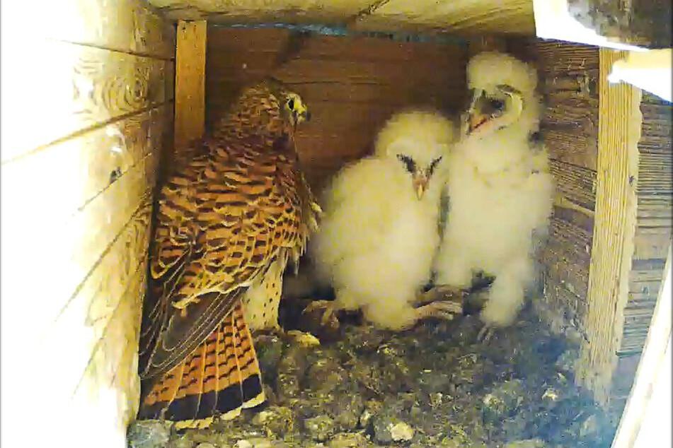 Nicht die Mama! Nach dem Tod ihrer Kleinen stattete die Falkenfrau auch den Eulenjungen einen Besuch ab, blieb aber friedlich.