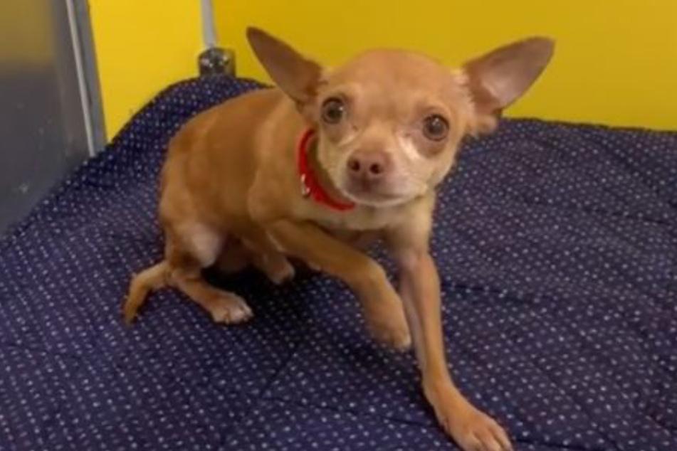 Chihuahua Amigo war extrem gestresst.