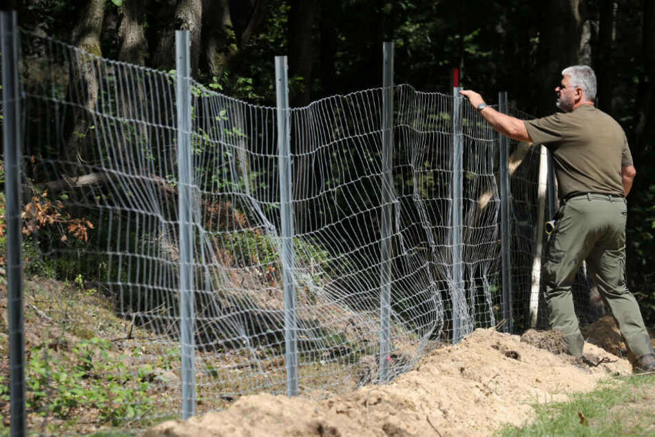 Brandenburg geht gegen Schweinepest vor: Bau eines festen Zauns geplant