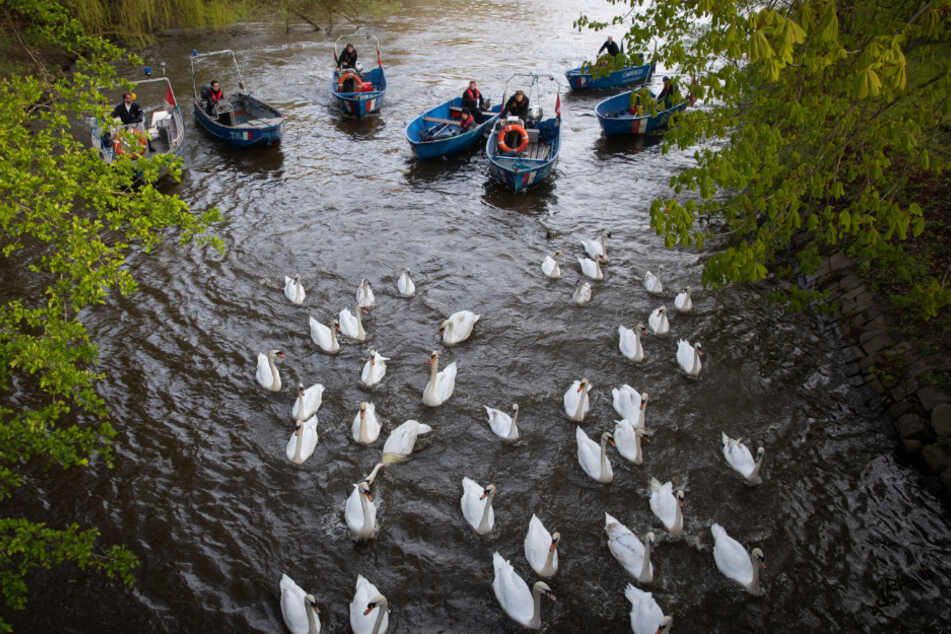 Schwanenvater Olaf Nieß und seine Mitarbeiter begleiteten mit Booten die Alsterschwäne in Richtung Außenalster.