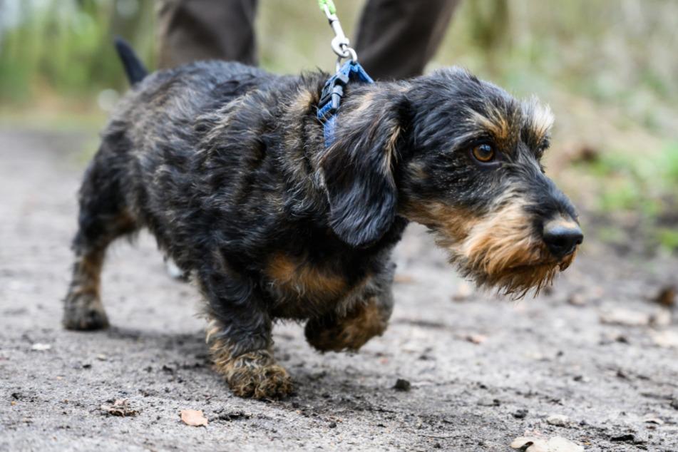Hunde sollen in den kommenden Wochen an der kurzen Leine geführt werden. (Symbolbild)