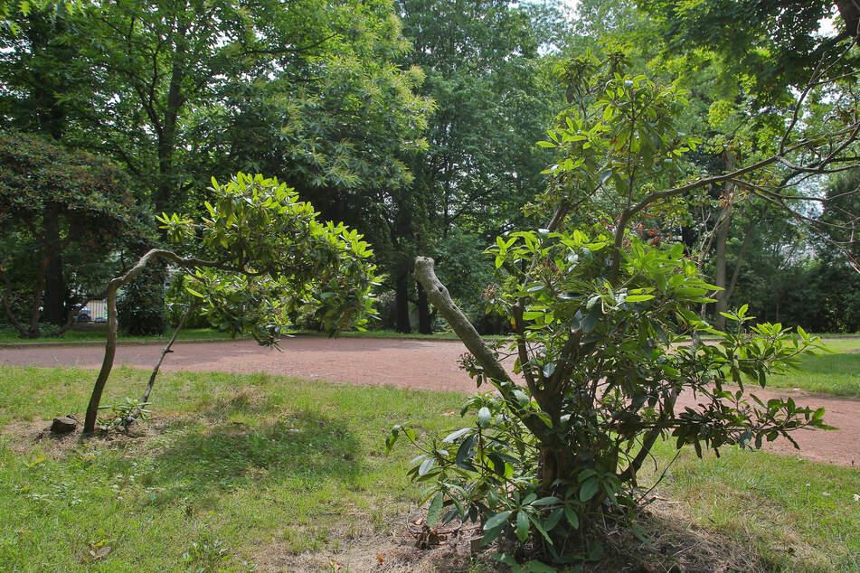 Die Rhododendren im Park leiden unter anderem durch kletternde Kinder.