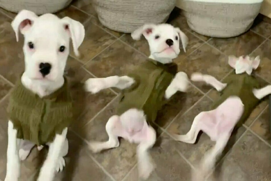 Ruff and tumble: puppy's hilarious attempt at a bark goes viral