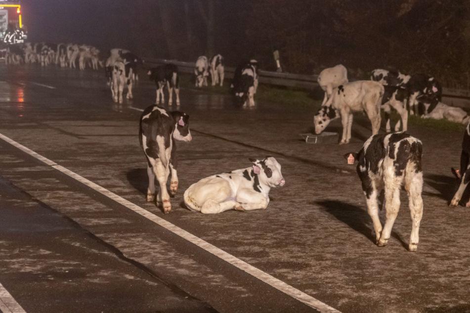 Tier-Transporter brennt! Über hundert Kühe stehen plötzlich auf der Bundesstraße