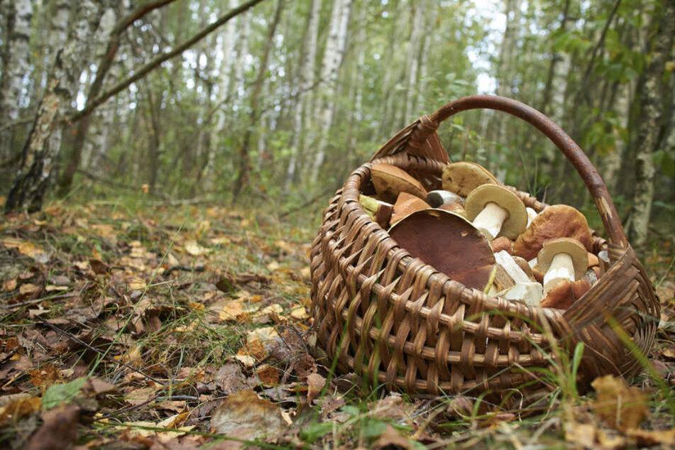 Ein Korb voller Pilze, doch sind auch wirklich alle genießbar? Eine App gibt da nur bedingt gute Auskunft.