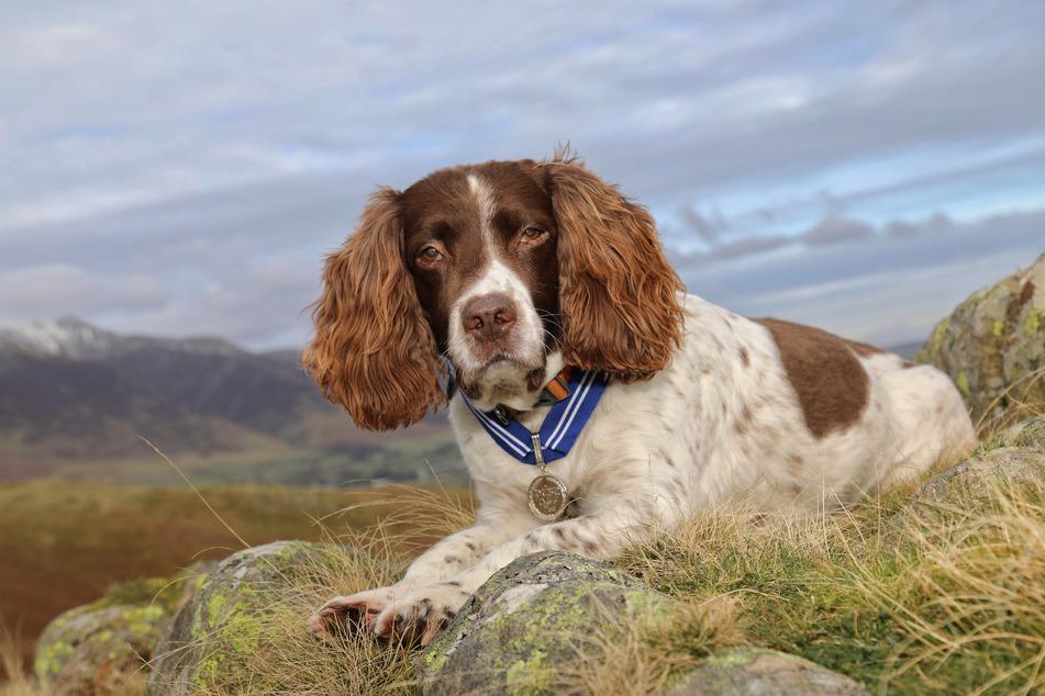 Der 13-jährige English Springer Spaniel Max wurde für seinen Einsatz als Online-Therapiehund als erstes Haustier mit dem Order of Merit geehrt.