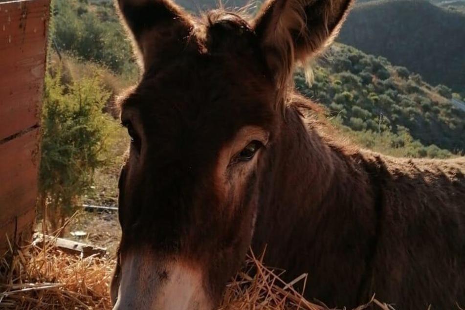 Esel Baldomera wartete wochenlang auf Ismael Fernández Rückkehr.