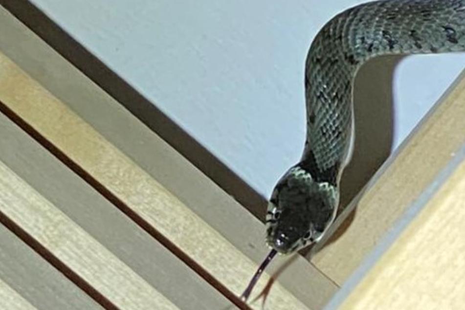 Mann findet Schlange im Keller und flüchtet vor Schreck