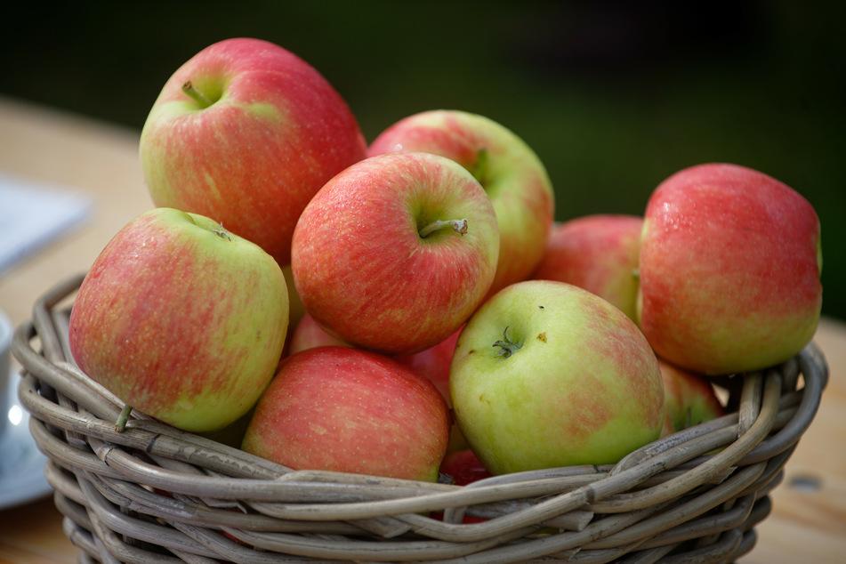 Kosten Äpfel bald mehr Geld? Apfelernte im Rheinland gestartet