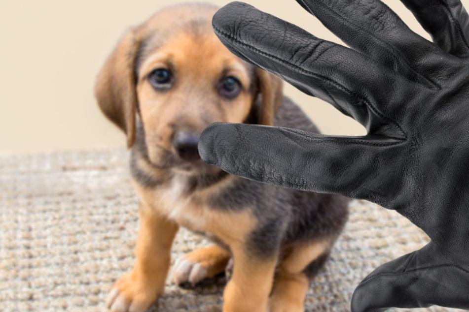 2020 wurden der Polizei in Großbritannien etwa 2000 Hundediebstähle gemeldet. (Symbolbild)