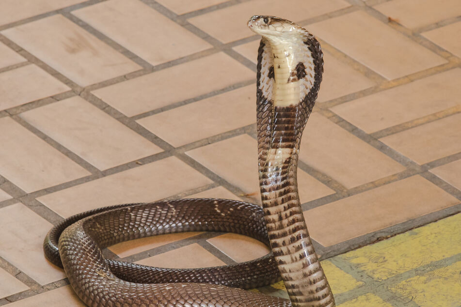 Man survives malaria and coronavirus – then gets bitten by a cobra!