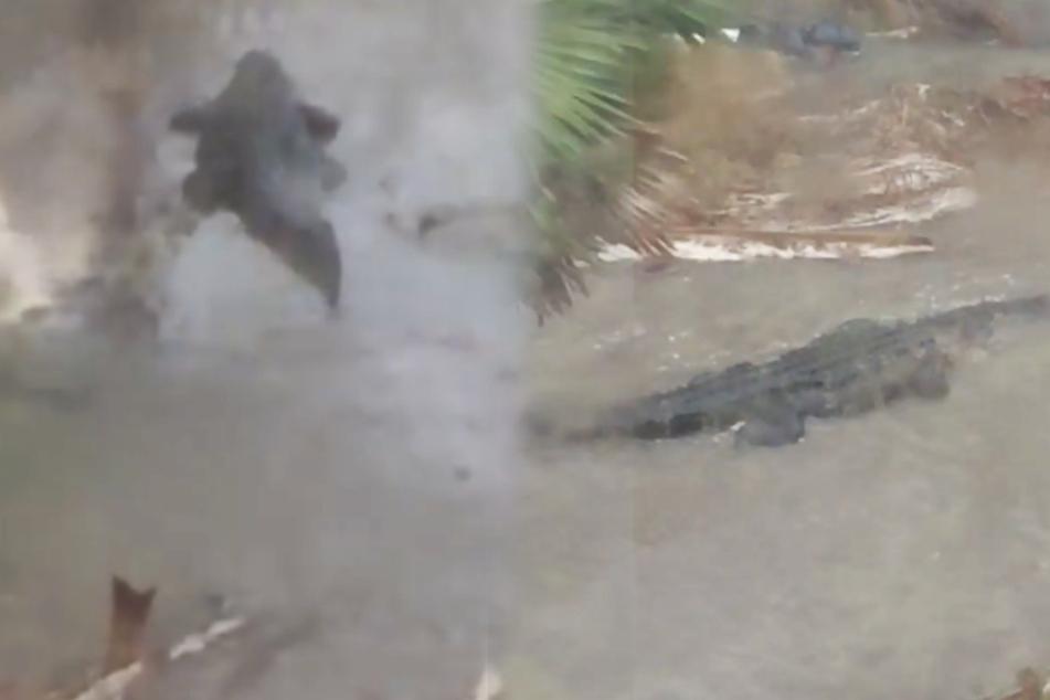 Riesiger Alligator schwimmt durch Wohngebiet