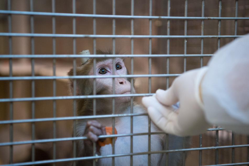 Ein Rhesus-Affe mit einem Implantat wird in der Tierhaltung im Max-Planck-Institut für biologische Kybernetik von einem Tierpfleger gefüttert. (Archivbild)