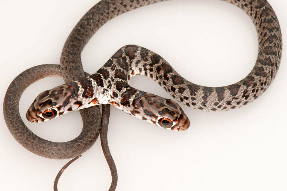 Two-headed snakes are very rare and often don't survive in the wild.