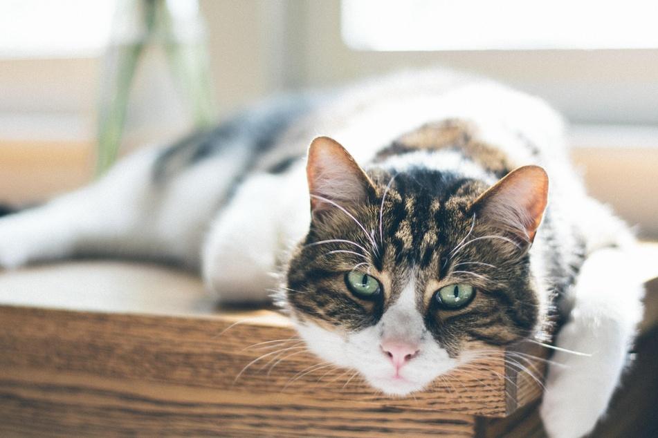 Habe Katzen zu viel gefressen, werden sie träge - und nehmen dadurch noch weiter zu.