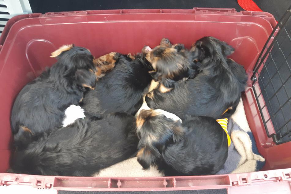 Diese sechs kleinen Yorkshire Terrier gingen der Polizei am Donnerstag ins Netz.