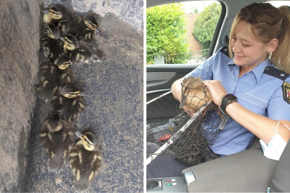 Die Enten-Mama ließ sich dann ohne Widerstand auf dem Arm der Polizistin gemeinsam mit ihren Küken zurück an den Rhein bringen.