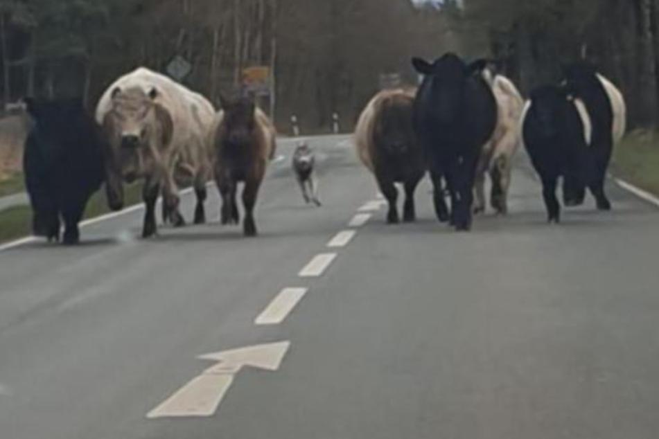 Vermutlich wurden die Rinder von einem Wolf gejagt.