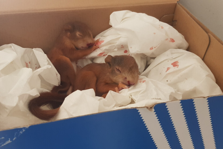 Nach der Attacke ruhten sich die Eichhörnchen-Babys erstmal aus.