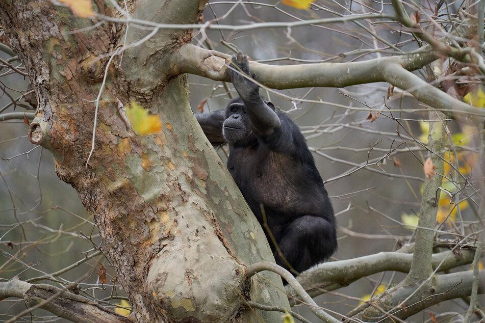 Ein Schimpanse klettert auf einem herbstlich kahlen Baum im Zoo Neuwied.