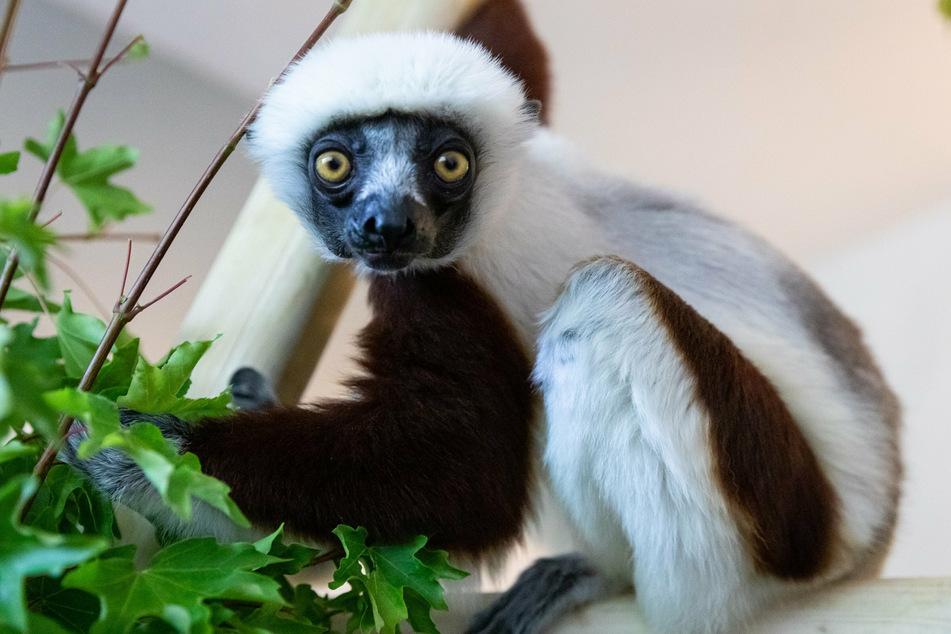 """Das Coquerel-Sifaka-Weibchen """"Euphemia"""" ist neu in das Affengehege des Berliner Tierparks eingezogen."""
