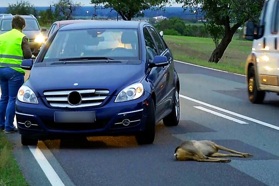 Dieses Reh überlebte den Zusammenstoß mit einem Auto nicht.