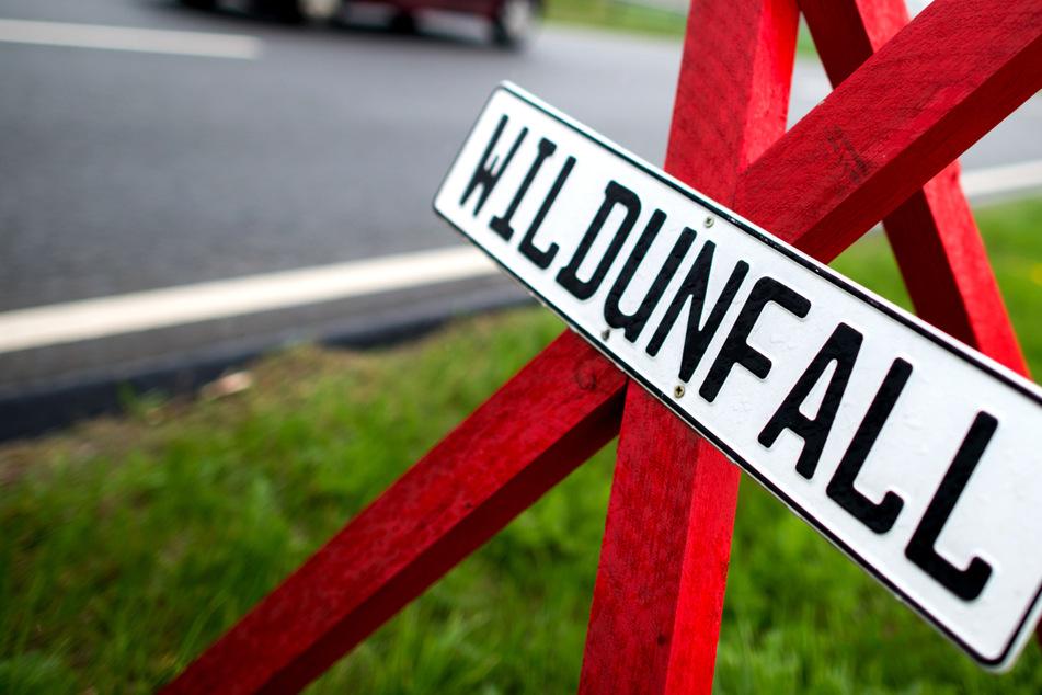 Mehrere Hirsche laufen vor Autos: Ein Tier stirbt