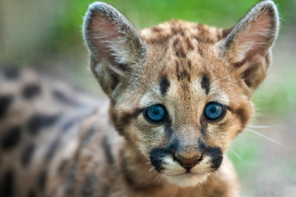 Summer of kittens: California sees mountain lion baby boom