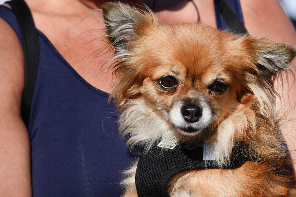 Hundeleine verfängt sich in Fahrrad: Chihuahua kommt ums Leben