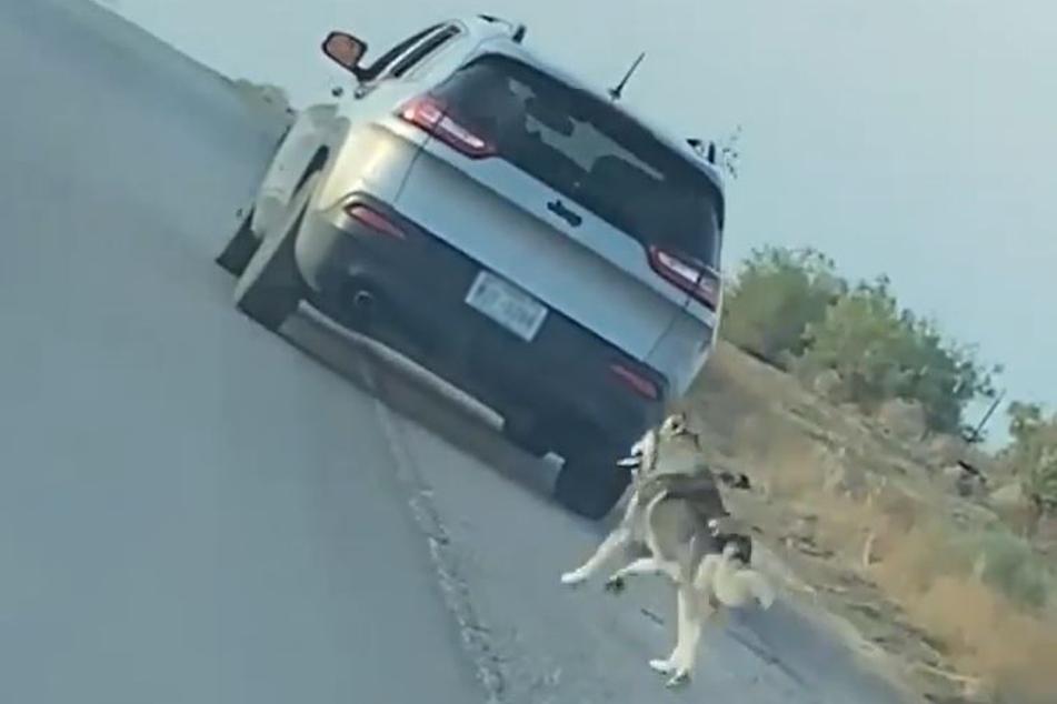 Der arme Husky war dem Auto verzweifelt hinterhergelaufen.