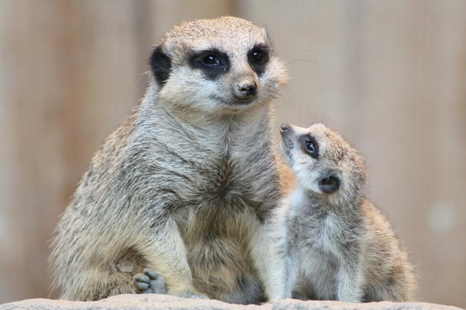 Sind sie nicht süß? - Die putzigen Erdmännchen sind beliebte Patentiere in den Zoos und Tierparks des Freistaats.