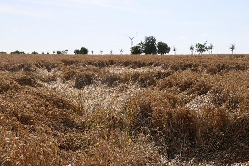 Das Getreide auf diesem Feld ist teilweise plattgedrückt - häufige Regenfälle erschweren die Ernte.