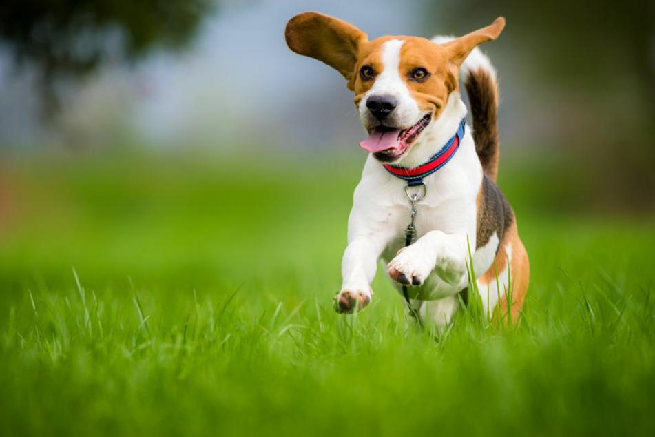 Wissenschaftlern zufolge altern Hunde nicht unbedingt schneller als ihre Besitzer.
