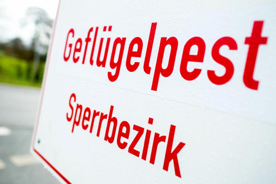 Nach dem Ausbruch der Vogelgrippe in einer gewerblichen Putenmast in Brandenburg zeigen sich die Geflügelhalter äußerst besorgt. (Symbolfoto)