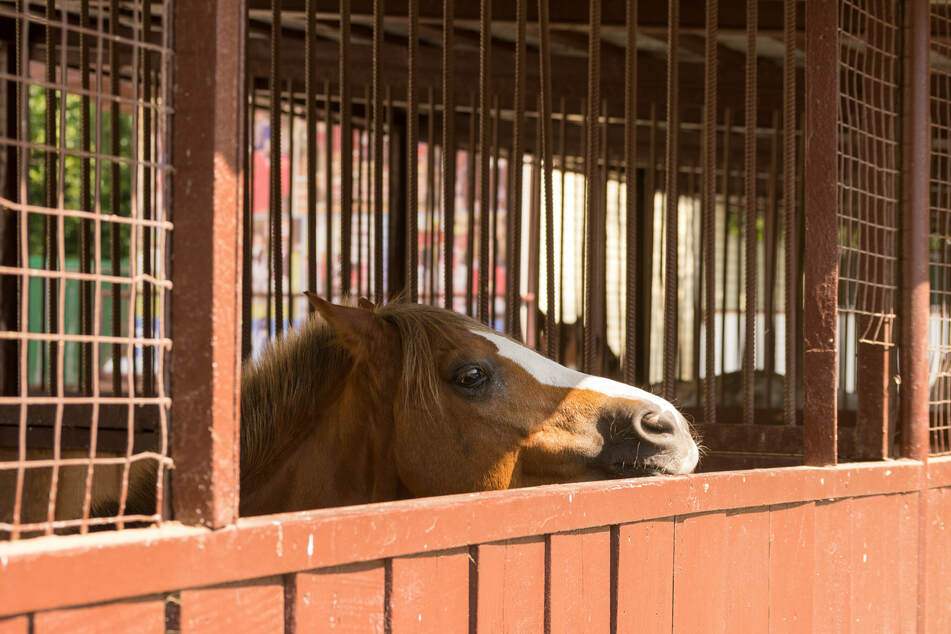 The mare was lured out of her stall early in the morning. Then the unthinkable happened (stock image).