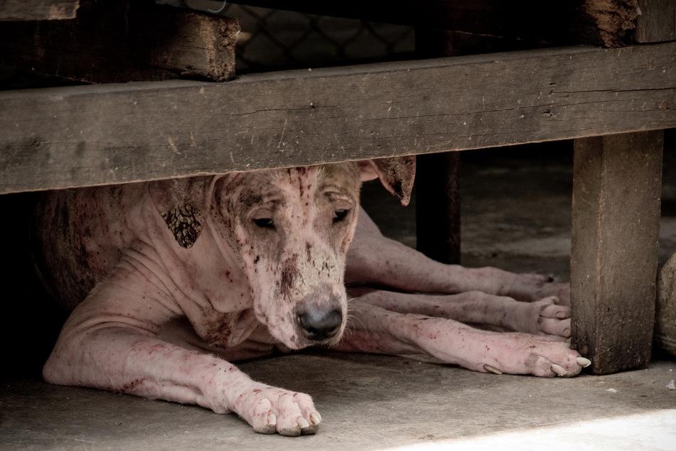 Hundefleisch gilt in vielen ostasiatischen Regionen als Delikatesse.