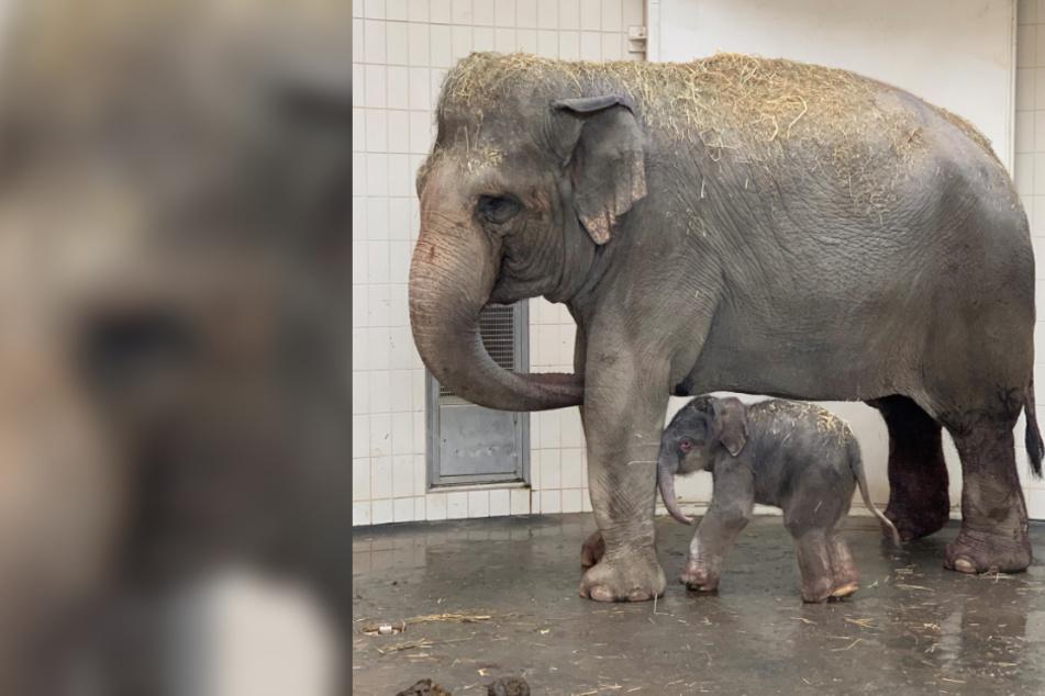 """Tierpark Hellabrunn: Elefantenbaby """"Otto"""" ist da!"""