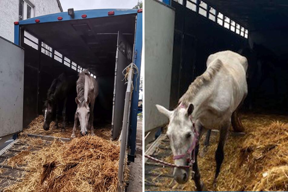 Die Tiere waren nach Beendigung der mehrstündigen Fahrt völlig erschöpft zu einem Pferdehof gebracht worden.