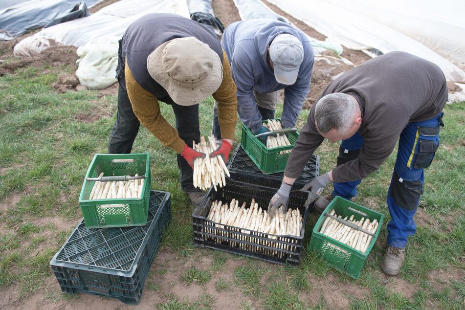 Erntehelfer aus Polen legen auf einem Spargelfeld frisch gestochenen Spargel in eine Kiste.