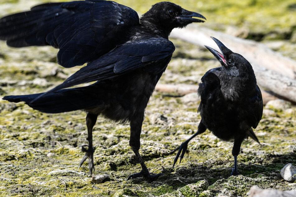 Zwei Krähen zanken sich um ein Stück Futter. Krähen aus dem Vogelschutzzentrum des Naturschutzbunds Nabu könnten für Tierversuche an der Uni Tübingen genutzt worden sein. (Symbolbild)