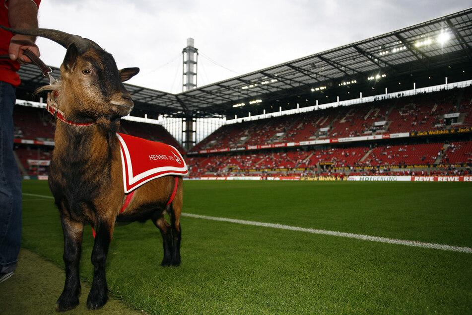 Hennes VIII. feierte seinen Amtseinstand als FC-Maskottchen 2008 im Kölner Rhein-Energie-Stadion.