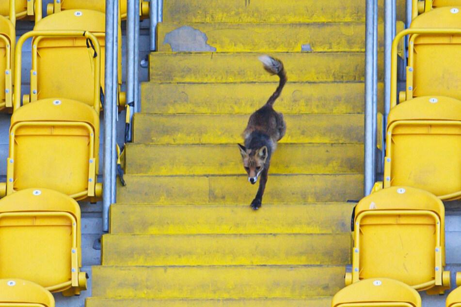 Der tierische Besucher rannte einige Stadionrunden, bevor er laut MagentaSport eingefangen werden konnte.