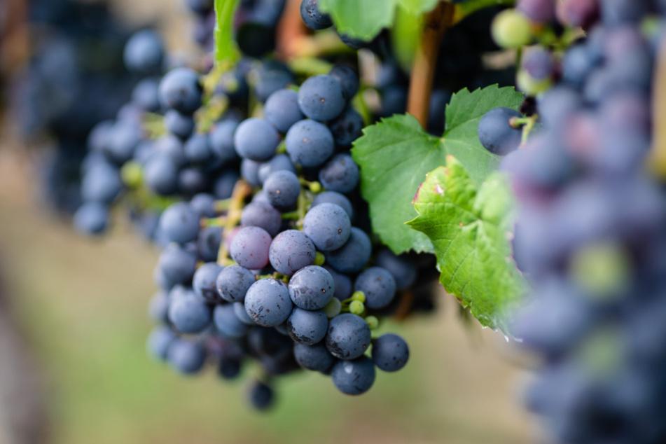 Winzer vermutet Kollegen hinter Diebstahl von zehn Tonnen Weintrauben